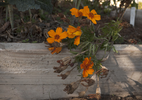 Orange marigolds (tagetes patula) on dia de los muertos