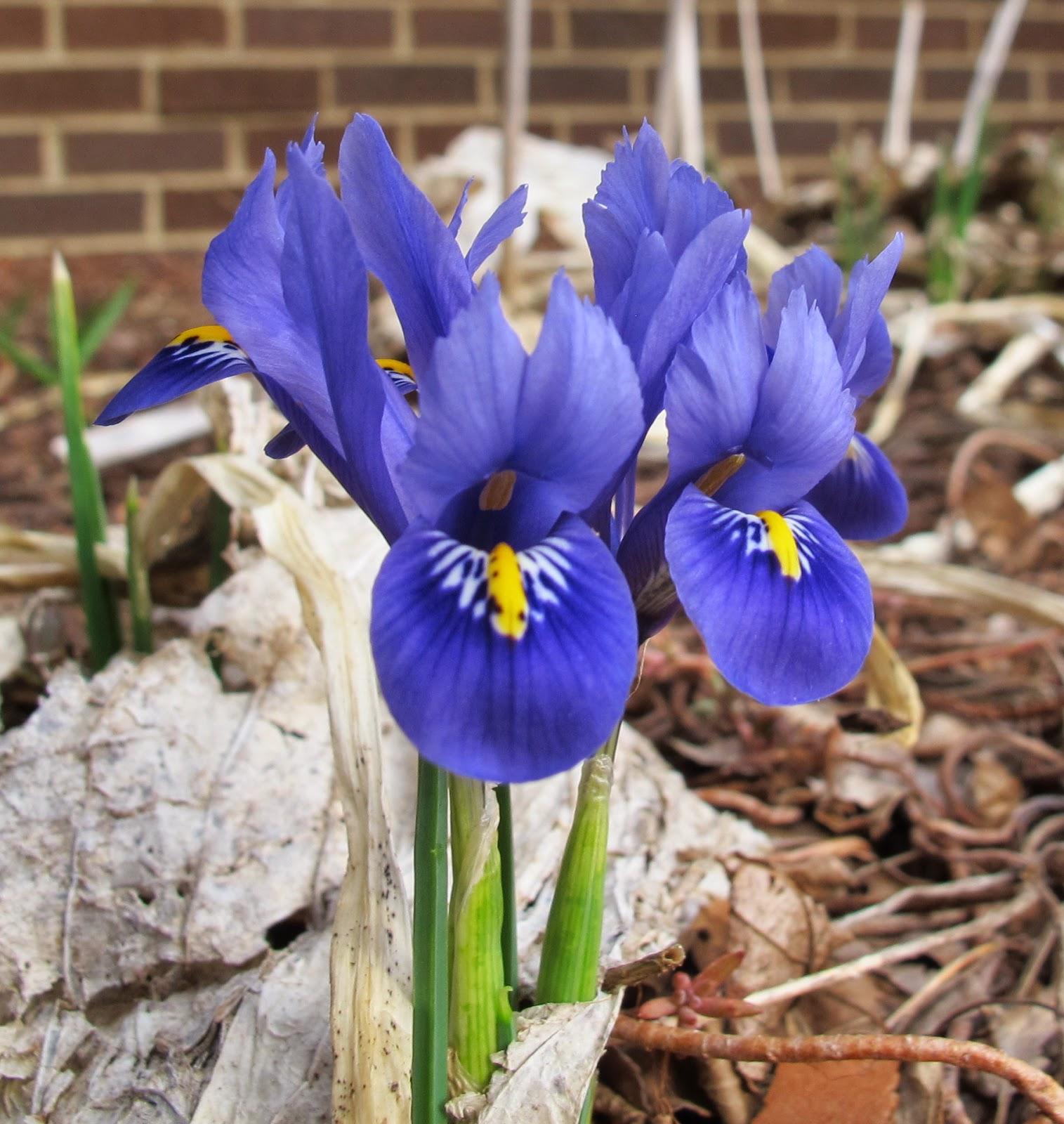 iris reticulata iris reticulata harmony iris reticulata. Black Bedroom Furniture Sets. Home Design Ideas