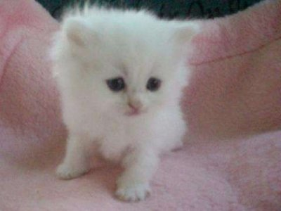 White Teacup Persian Kitten high resolution