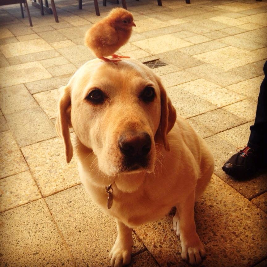 Funny animals of the week - 9 May 2014 (40 pics), cute animals, animal photos, chick stands on dog's head