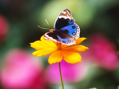 Beautiful Butterfly Normal Resolution Wallpaper 22