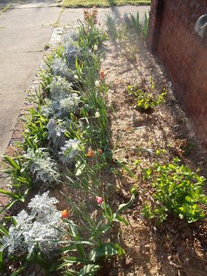 Hyacinths, dusty miller, tulips, and hydrangeas