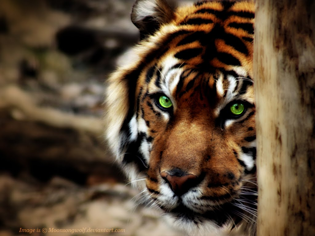 http://1.bp.blogspot.com/-aRJgAG5zrPg/TmuOLZaWemI/AAAAAAAABwU/LiKGiovfY2Y/s1600/shy_sumatran_tiger_wallpaper.jpg
