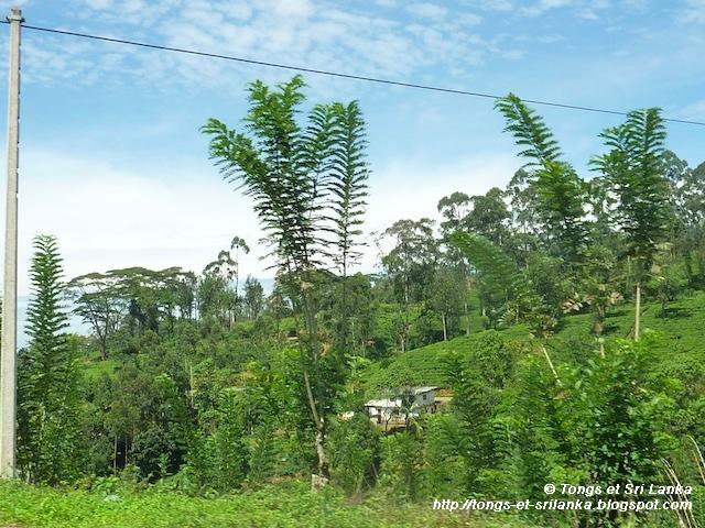 sur la route du thé au Sri lanka