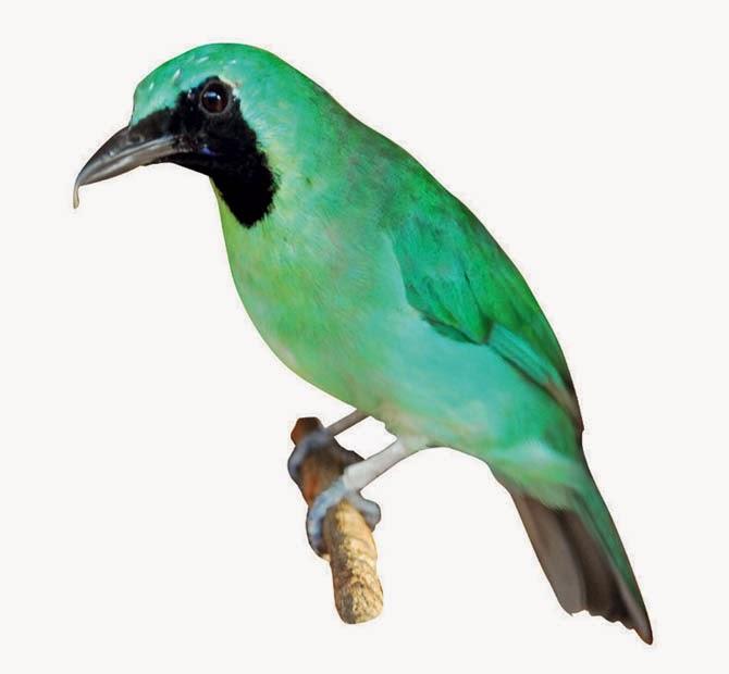 Kumpulan Foto Burung Cucak Ijo Jantan FOTO BURUNG KICAU