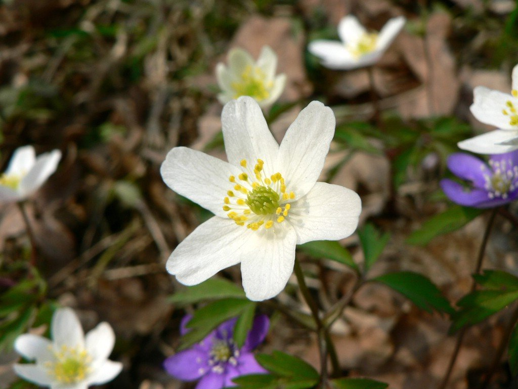flowers for flower lovers Anemone nemorosa flowers pictures