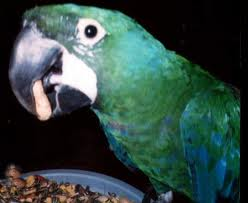 Macaws: milicinth macaw