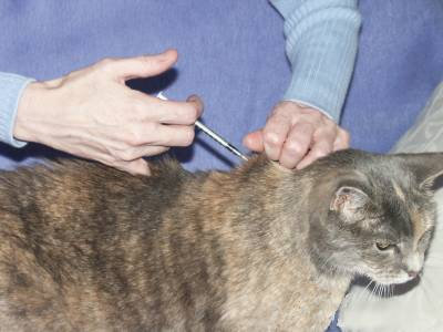 cat, Cats, diabetes in cats, pet, pets,
