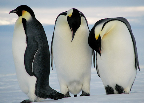 File Emperor penguins