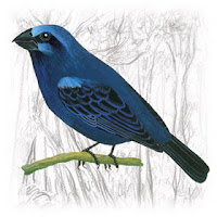 Azulão da Amazônia