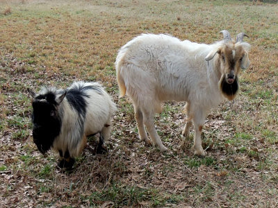 Our Pygmy buck Gruffy, and our Kiko buck Elvis.