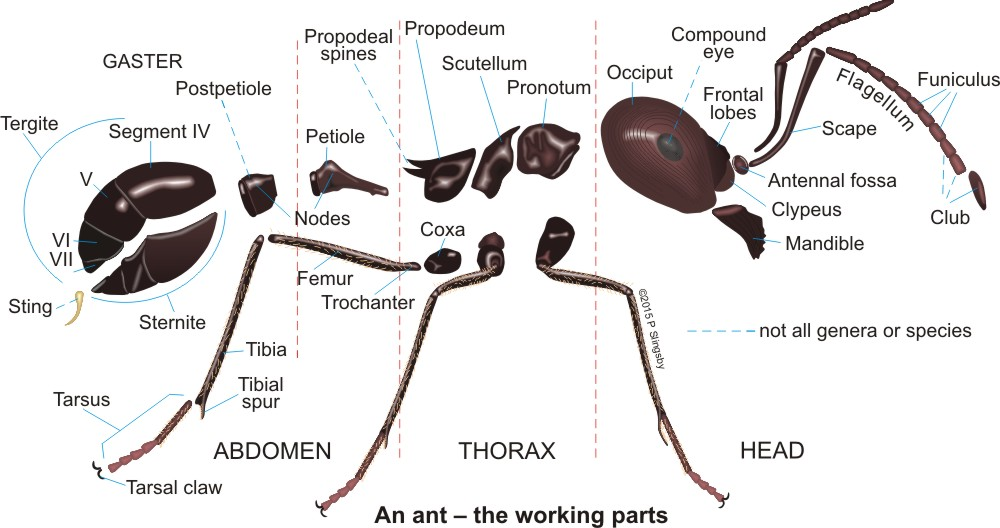 Ants of Southern Africa -: Anatomy; Collecting ants for Identification