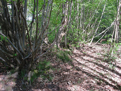 A bank and ditch at the border of Spring Park, planted with coppiced and pollarded small-leaved limes.  22 April 2011.