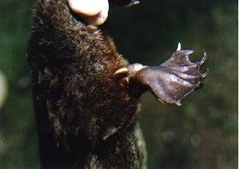 Platypus Foot