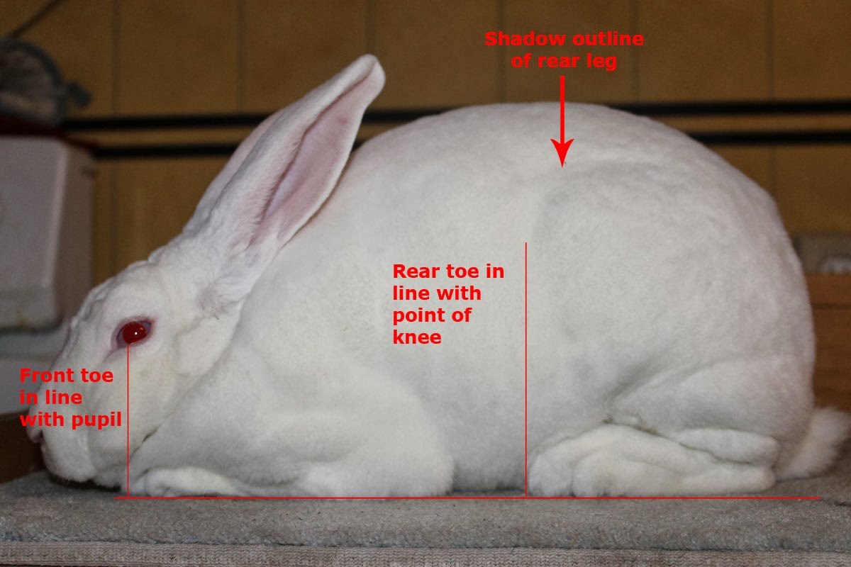 Hill Rise Rabbitry: Evaluating Adult Rabbits