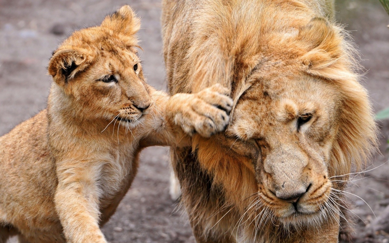 funny pics of lions funny lion pictures king pictures king quotes king