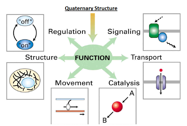 Quaternary structure reasonsQuaternary Structure