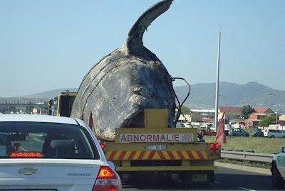 ballena muerta llevada en remolque