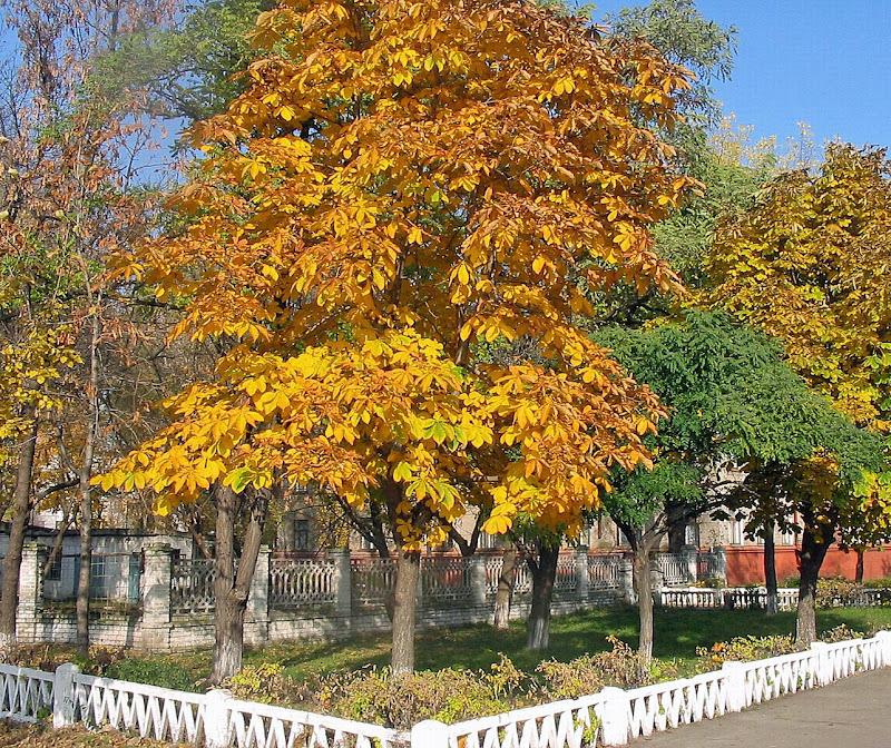Edelkastanie im Herbst - schöne Herbstbilder Kastanienbaum title=