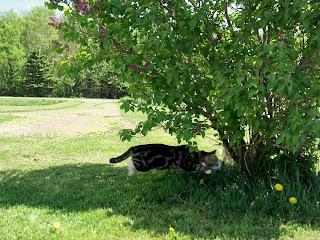 cat playing around bush