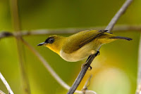 Gambar Burung Pleci Kacamata Togian, Zosterops somadikartai