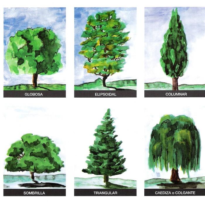 Paisajista Laila Huber Clasificación de los árboles según su forma