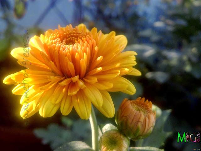 Metro Greens: Orange coloured chrysanthemum bloom