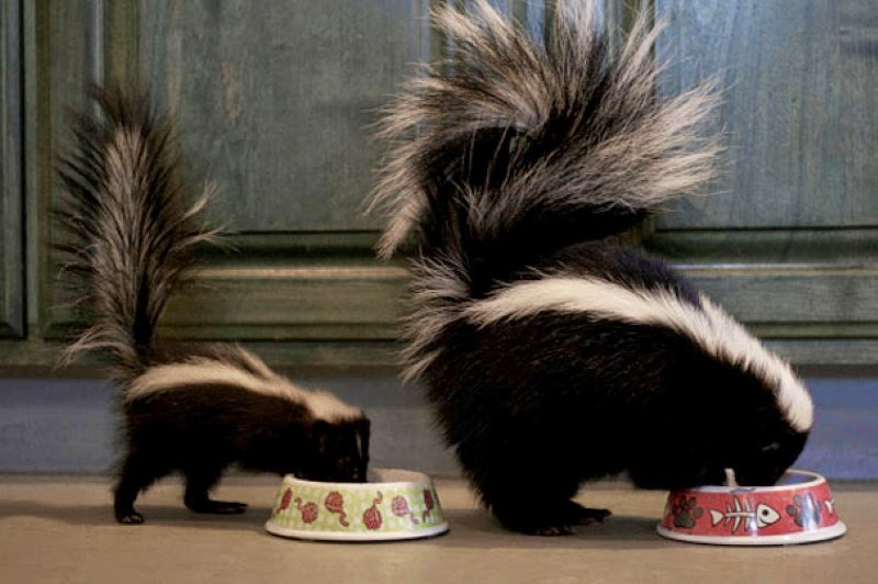 22. A mother skunk and a matching baby skunk having a bite to eat. - 30 Animals With Their Adorable Mini-Me Counterparts