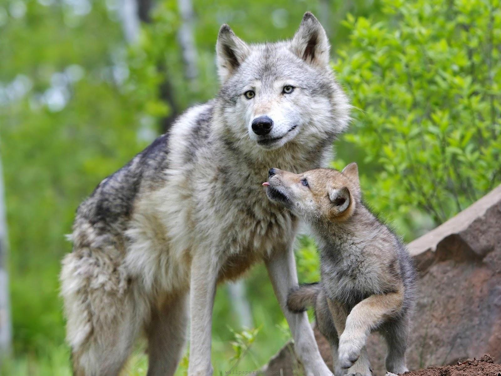 ONG Territorio de Lobos: 5 curiosidades sobre lobos