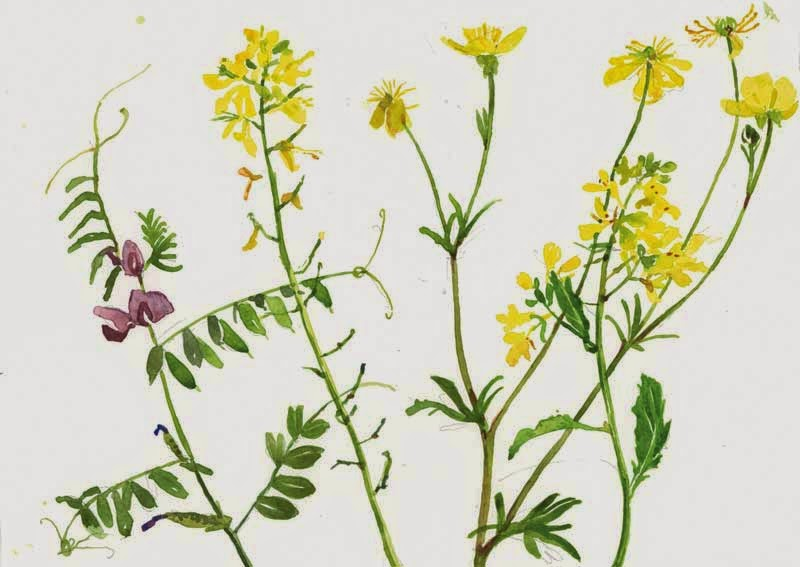 Mustard Flower Drawing Two New Wild Flower Paintings