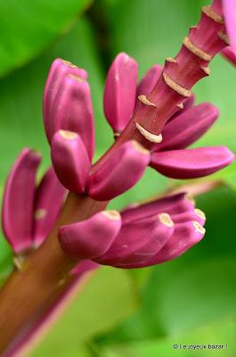 Martinique - jardin de Balata - bananier