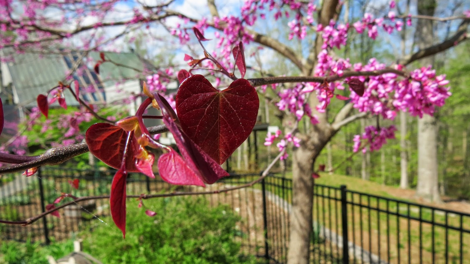Redbud-in-Northern-Virginia
