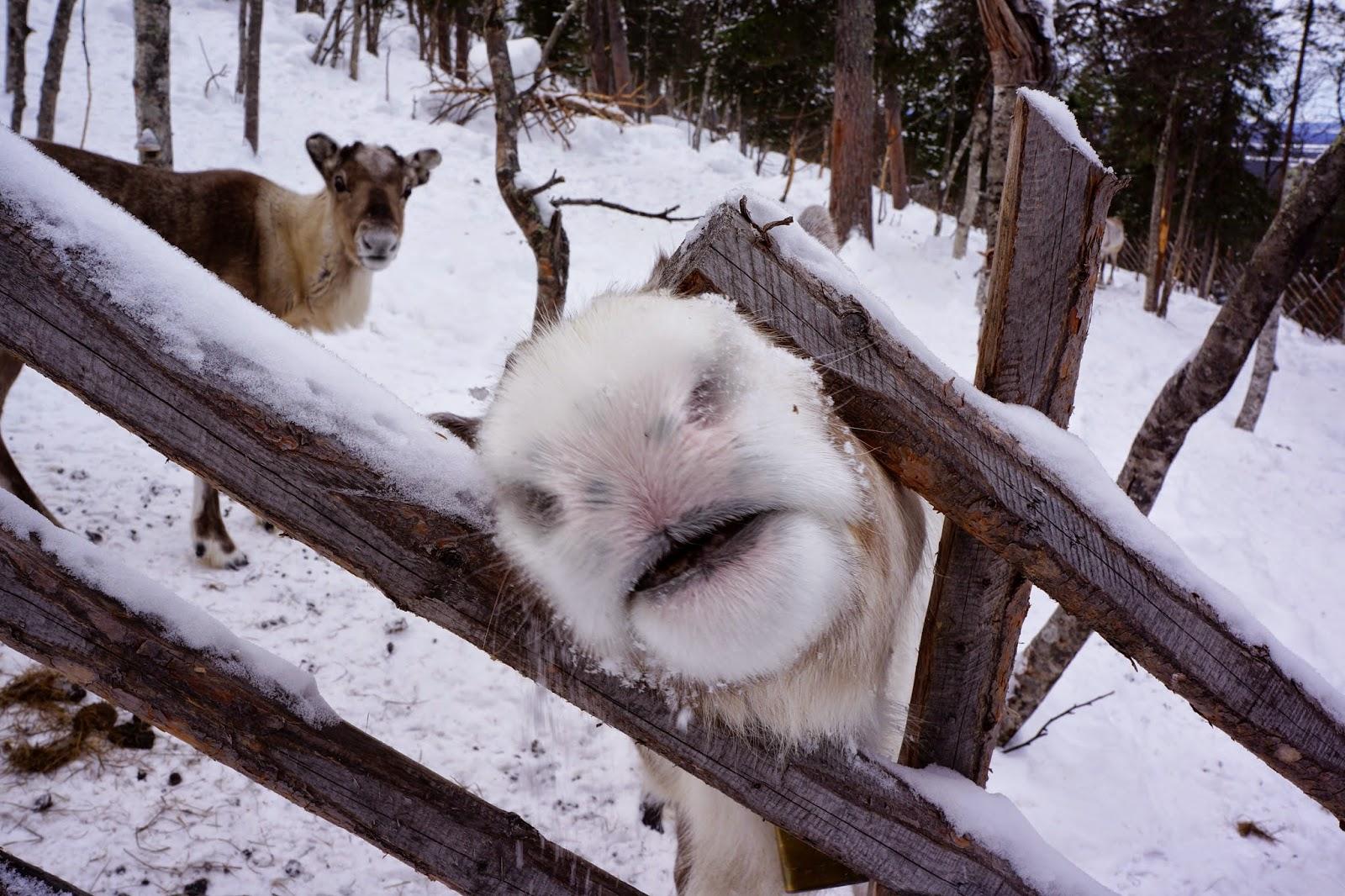 reindeer snout