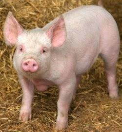 babi-pr-selangor