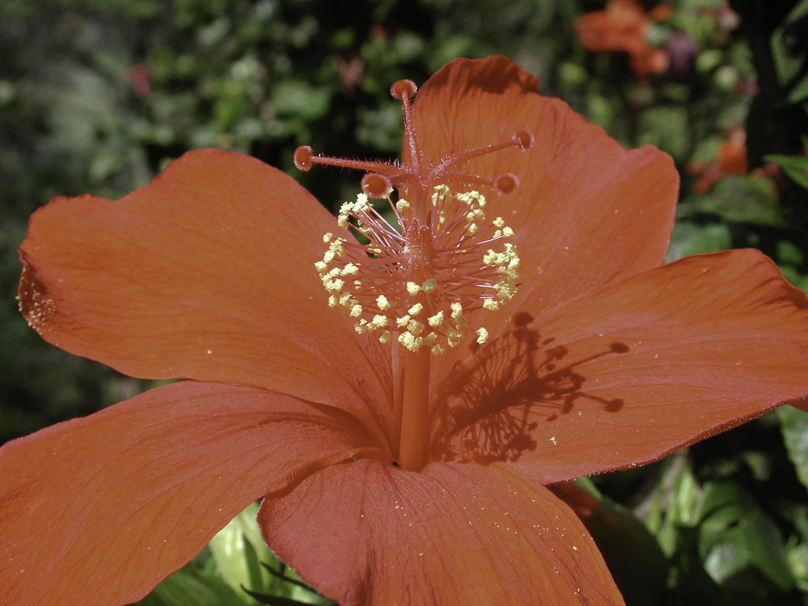Hawaiis Native Red Hibiscus Kokio Ula Hawaii Horticulture