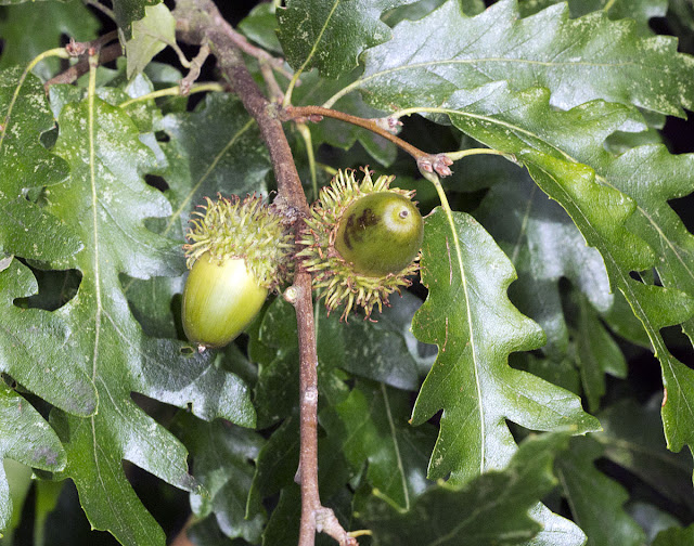 Acorns of Turkey Oak, Quercus serris.  High Elms Country Park, 20 September 2011.