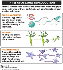 Different types of asexual reproduction in fungi budding