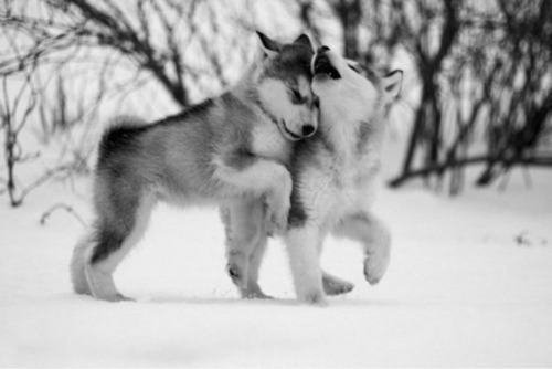 Cute Husky Dog Puppies