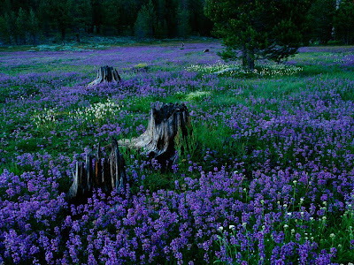 Penstemons, Tahoe National Forest, Nevada, USA