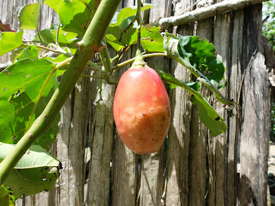 Tamarillo Near a House on the Trail Down from Llaqtapata to the Aobamba River