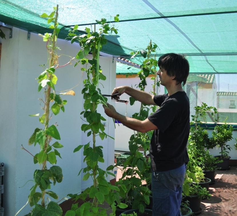 El macetohuerto seguimiento de un huerto urbano en - Cultivar judias verdes ...