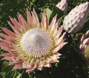 protea-flor-nacional-sudafrica ESTAS SON LAS FLORES DE SUDAFRICA