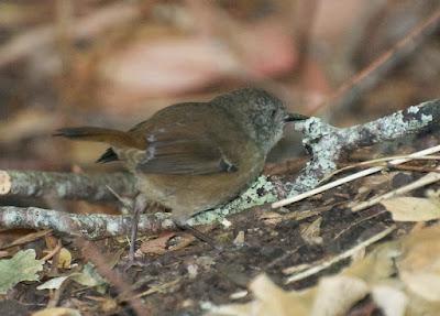 Tasmanian Scrubwren (Sericornis humilis)