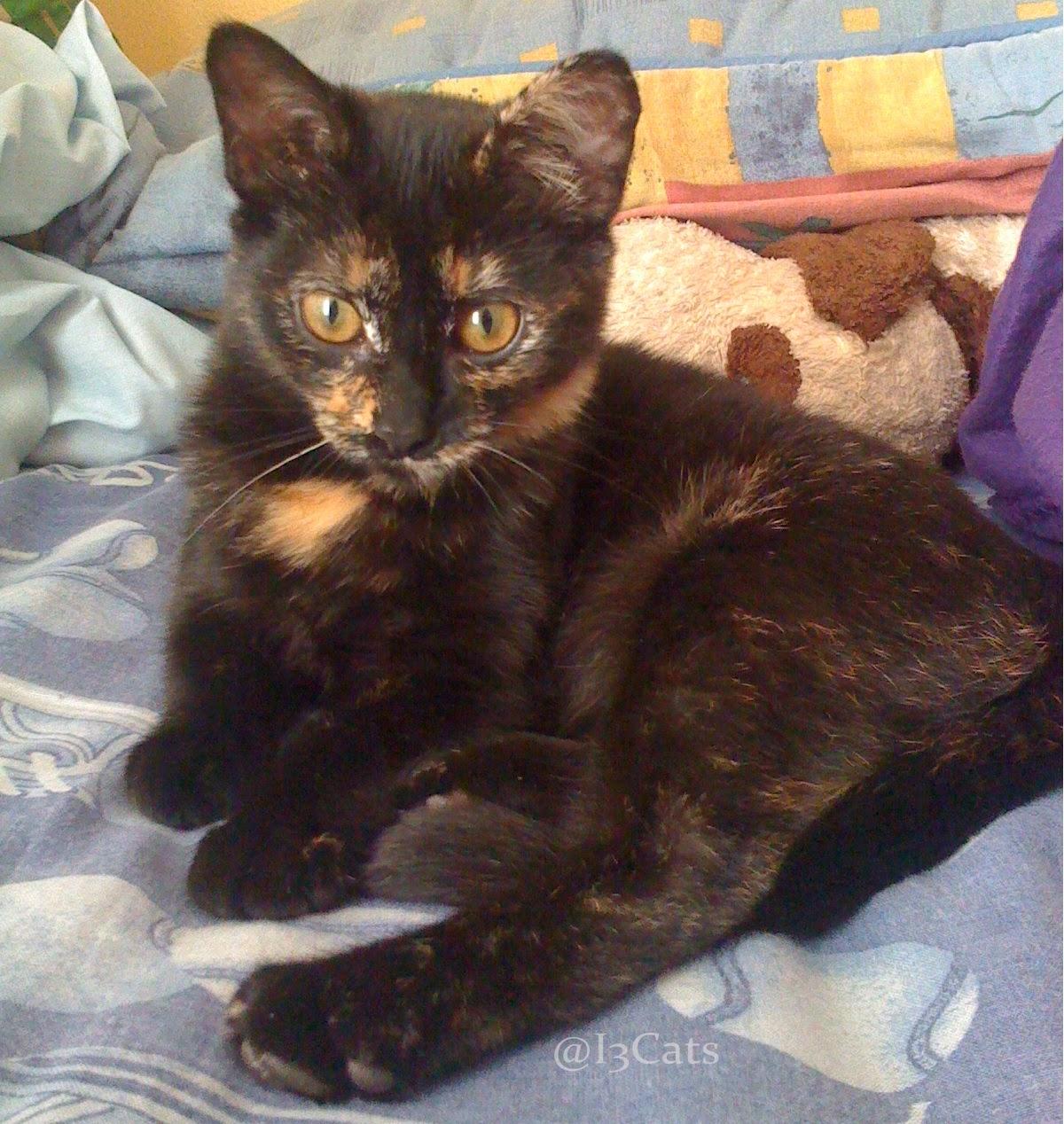 Cosas de Gatos y Perros - i3Cats: Gatas color escama de tortuga o ...