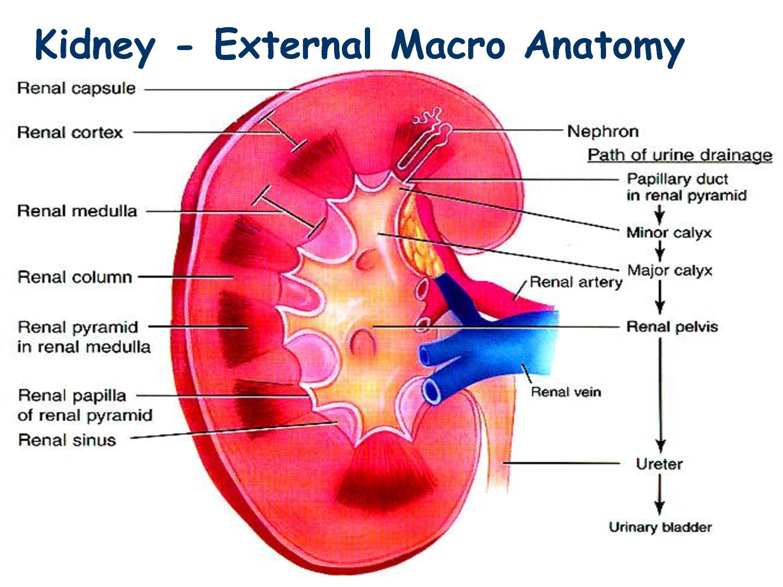 Ciencias de Joseleg: Anatomía del riñón humano, los lóbulos renales ...