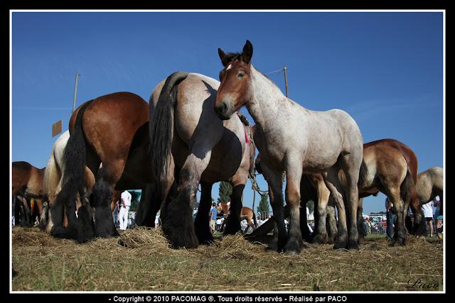 groupe de chevaux de trait à la foire Commerciale et Agricole de Sedan