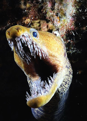 Fangtooth moray eel in a night dive