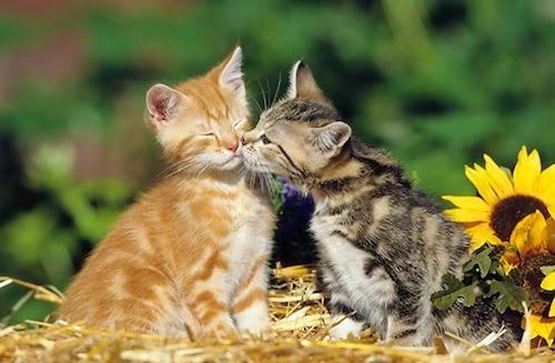 fotos animais adoráveis fofos se beijando beijo romântico Gatos