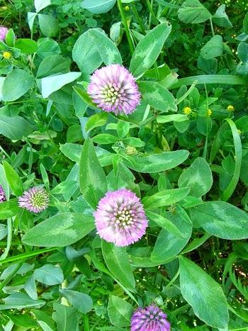KONICZYNA ŁĄKOWA Trifolium pratense