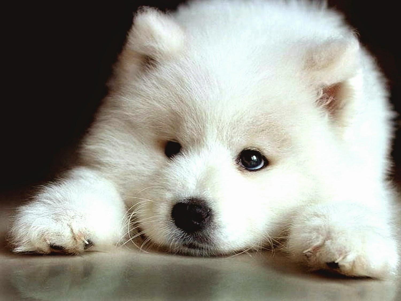 Peran Dan Karakter Anjing Samoyed